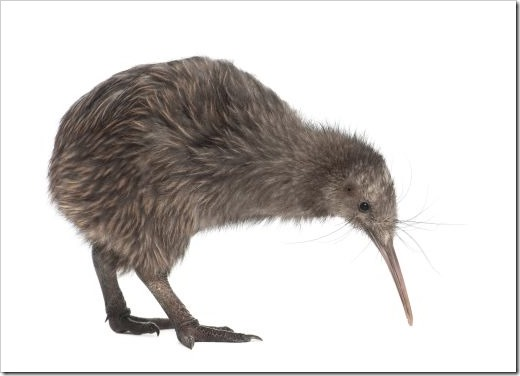 bigstock-North-Island-Brown-Kiwi-Apter-37200184
